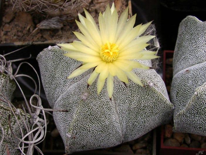 Astrophytum-myriostigma-var.-quadricostatum-Bishops-Cap-Cactus