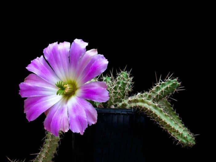Echinocereus-pentalophus-subsp.-procumbens-Lady-Finger-Cactus