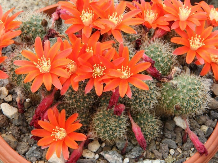 Rebutia-fiebrigii-Orange-Crown-Cactus